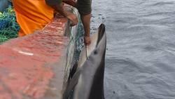 Des dauphins massacrés au Pérou pour pêcher le requin  En savoir plus: http://www.maxisciences.com/dauphin/des-dauphins-massacres-au-perou-pour-pecher-le-requin_art31114.html Copyright © Gentside Découverte