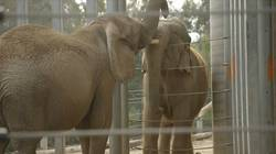 Après 37 ans de solitude, une éléphante rencontre pour la première fois une congénère  En savoir plus: http://www.maxisciences.com/%e9l%e9phant/apres-37-ans-de-solitude-une-elephante-rencontre-pour-la-premiere-fois-une-congenere_art32080.html Copyright © Gentside Découverte