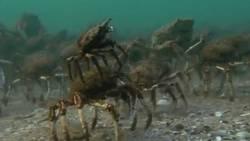 Des centaines de crabes pourchassés par une raie dans les profondeurs de l'océan  En savoir plus: http://www.maxisciences.com/crabe/des-centaines-de-crabes-pourchasses-par-une-raie-dans-les-profondeurs-de-l-039-ocean_art32336.html Copyright © Gentside Découverte