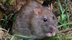 Des rats géants coloniseront-ils la Terre si l'humanité disparait ?  En savoir plus: http://www.maxisciences.com/rat/des-rats-geants-coloniseront-ils-la-terre-si-l-039-humanite-disparait_art31957.html Copyright © Gentside Découverte