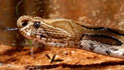 Quel effet le venin d'un des serpents les plus dangereux a t-il sur le sang ?  En savoir plus: http://www.maxisciences.com/serpent/quel-effet-le-venin-d-039-un-des-serpents-les-plus-dangereux-a-t-il-sur-le-sang_art32390.html Copyright © Gentside Découverte