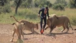 Un homme joue au foot avec 3 lions sauvages en pleine savane !  En savoir plus: http://www.chronofoot.com/insolite/un-homme-joue-au-foot-avec-3-lions-sauvages-en-pleine-savane_art44341.html Copyright © Gentside Sport