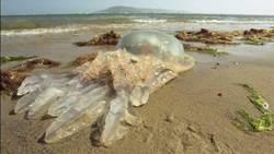 Des méduses géantes s'échouent sur les plages britanniques  En savoir plus: http://www.maxisciences.com/m%e9duse/des-meduses-geantes-s-039-echouent-sur-les-plages-britanniques_art32589.html Copyright © Gentside Découverte